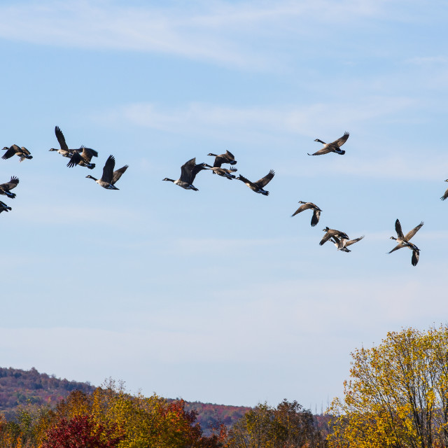 """Canada geese (Branta canadensis) in flight in a blue sky with cloud and..."" stock image"