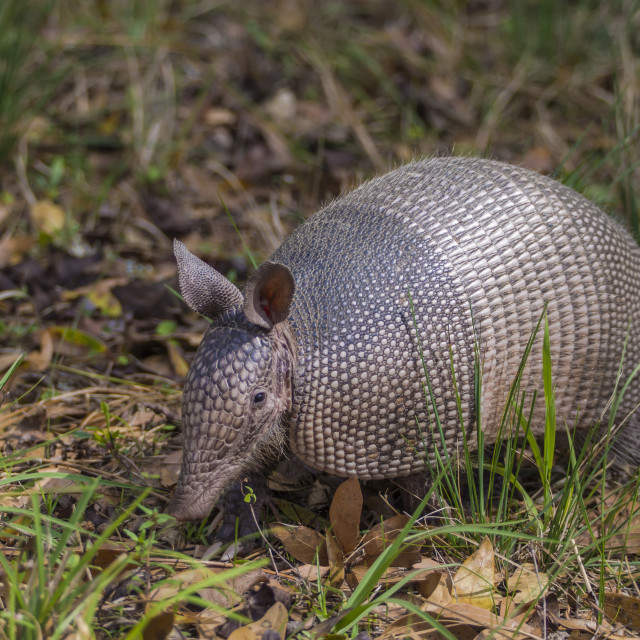"""Nine-banded Armadillo (Dasypus novemcinctus) wandering among the brush in a..."" stock image"