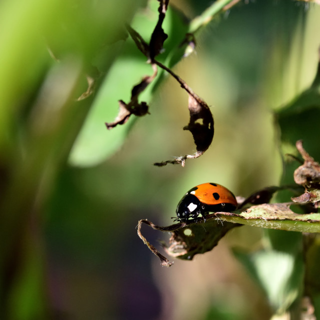 """""""Coccinellidae in the garden"""" stock image"""