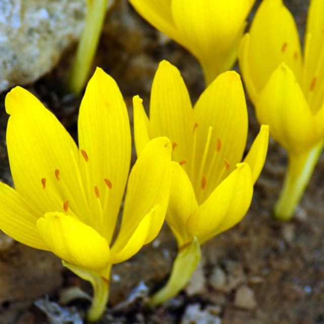 """Sternbergia clusiana Fall Daffodil"" stock image"