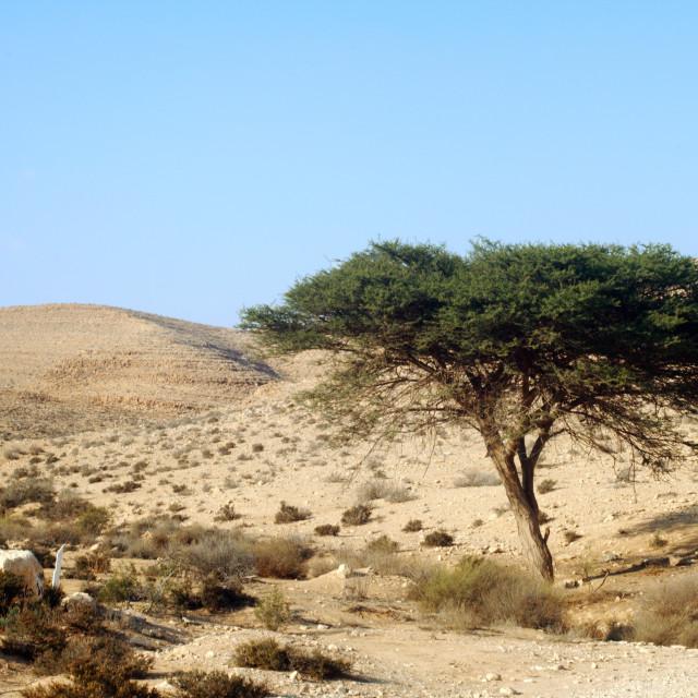 """Umbrella Thorn Acacia Acacia tortilis, Negev Israel"" stock image"