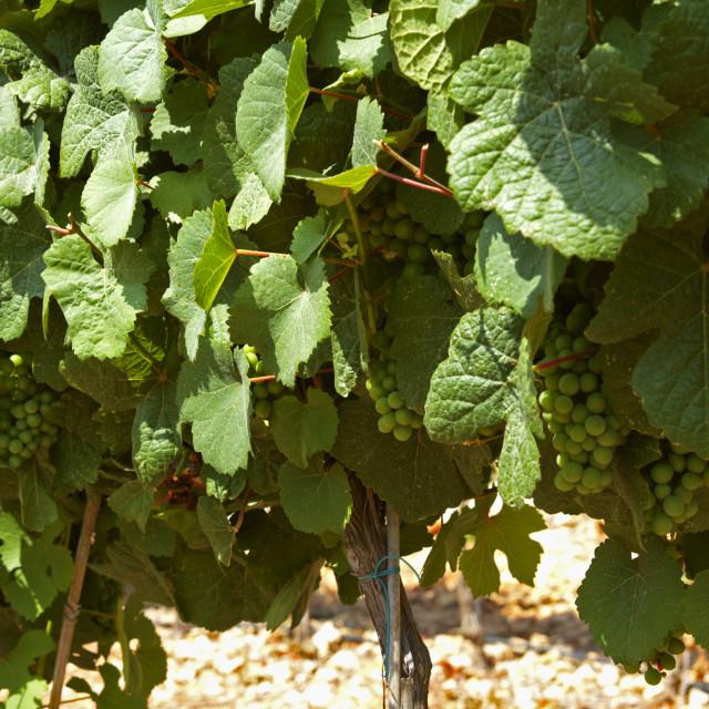 """Israel, Judea Hills, gewurtzstraminer vines Tzora winery"" stock image"