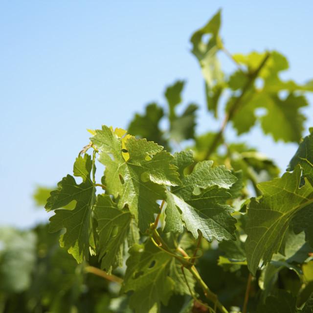 """Israel, Judea Hills, Tzora winery and vineyards"" stock image"