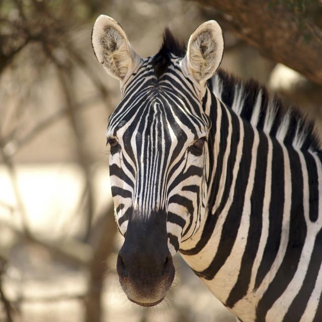 """Portrait of a zebra"" stock image"