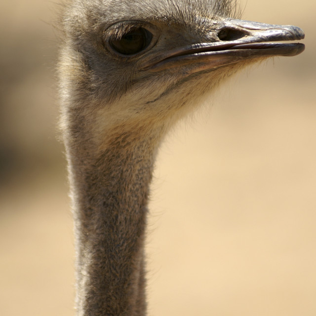"""""""Close up of an ostrich"""" stock image"""