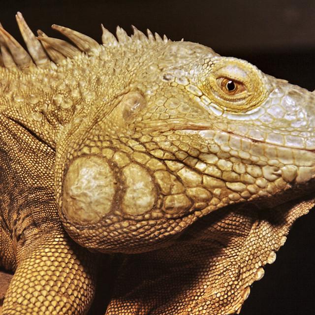 """""""common green IGUANA, Iguana iguana"""" stock image"""