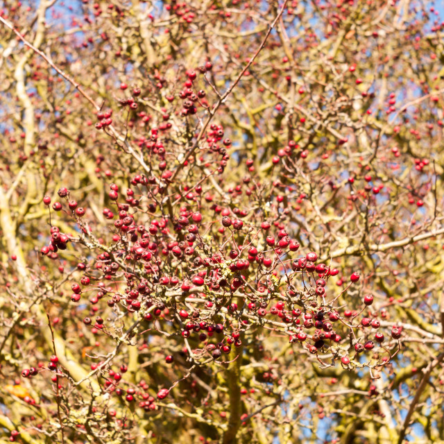 """""""red berries on bare branch of tree in autumn outside"""" stock image"""