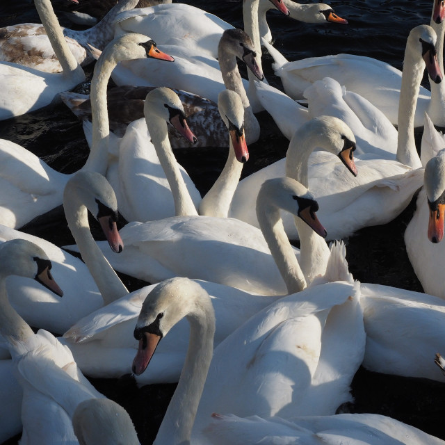 """Swans"" stock image"