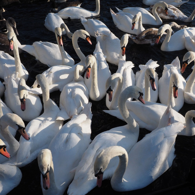 """Swan crowd"" stock image"