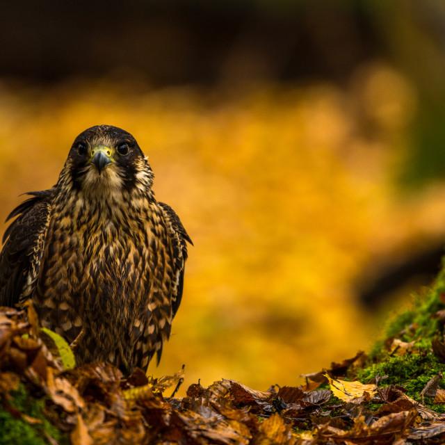 """""""A peregrine Falcon"""" stock image"""