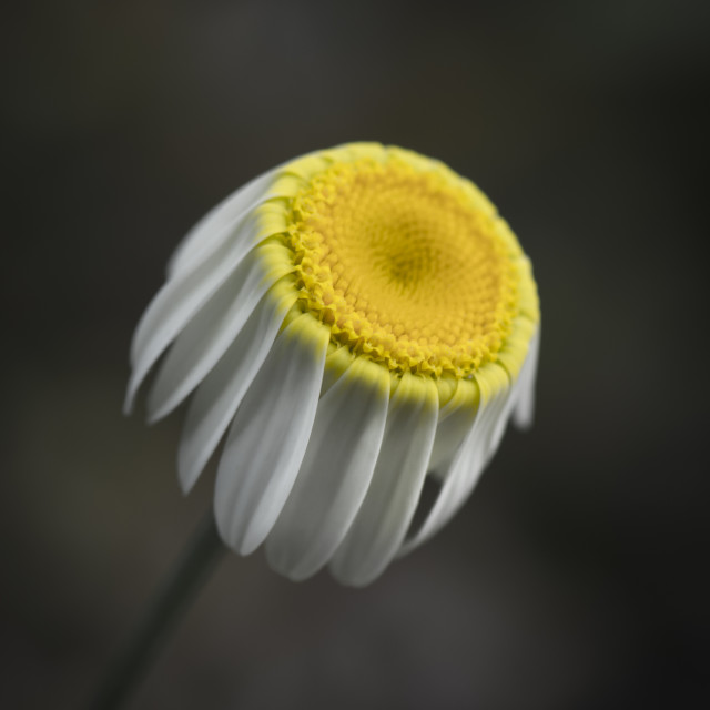 """Daisy Flower"" stock image"