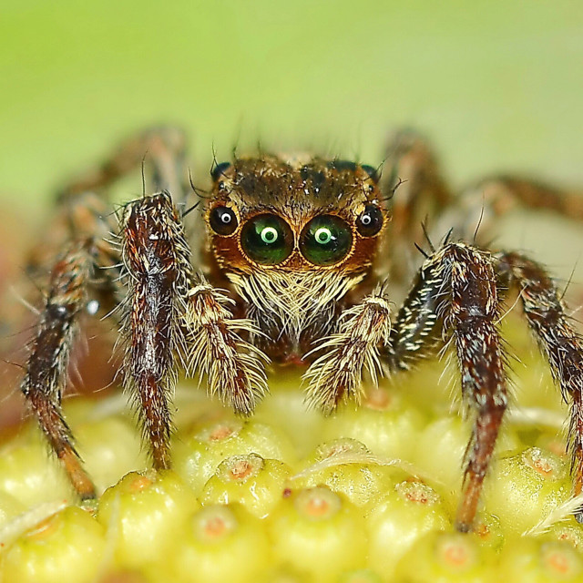 """""""Portrait of jumping spider"""" stock image"""
