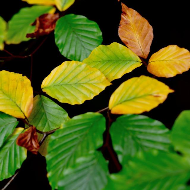 """""""Autumn leaf turning"""" stock image"""