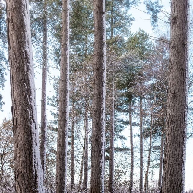 """Snowy woodlands"" stock image"