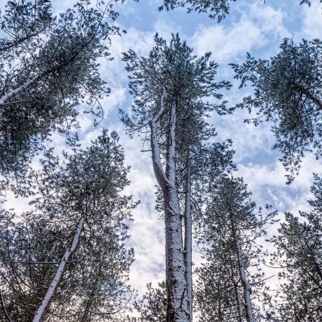 """Snowy pine trees"" stock image"