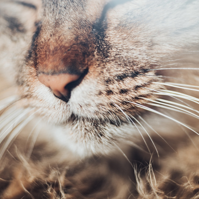 """""""Close up of cat with mouth, nose and mustache"""" stock image"""
