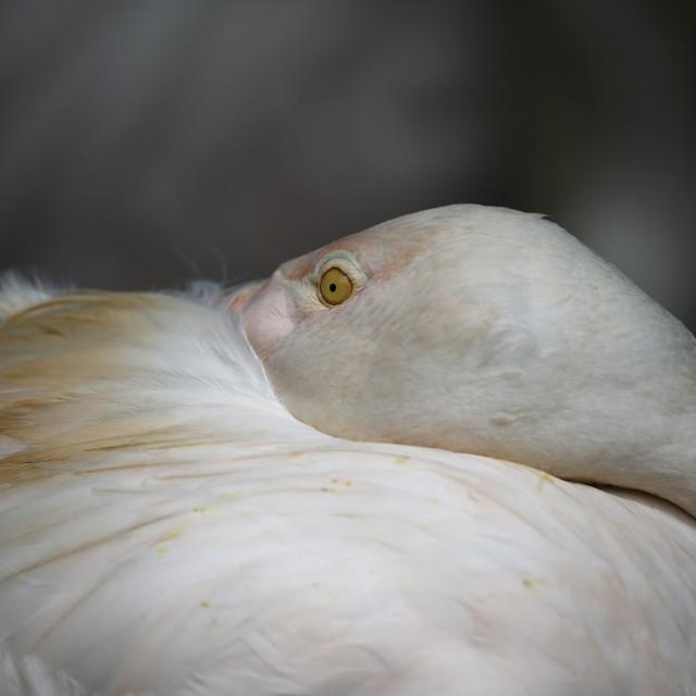 """Flamingo seen in Kuala Lumpur Bird Park"" stock image"