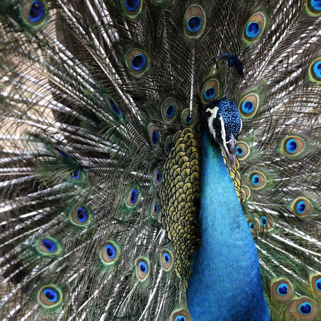 """Peacock seen in Kuala Lumpur Bird Park"" stock image"