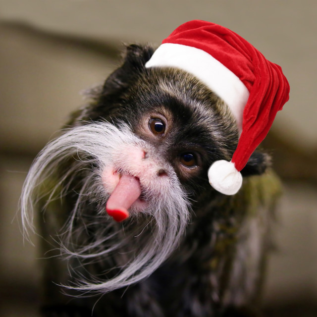 """""""Xmas Tamarin Monkey"""" stock image"""