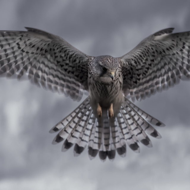 """A kestrel bird hunting prey."" stock image"