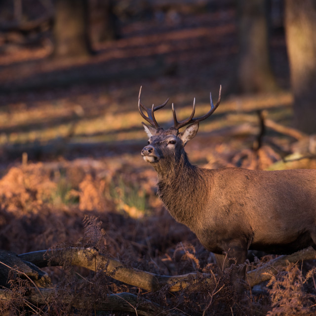 """A red deer stag in a forest"" stock image"