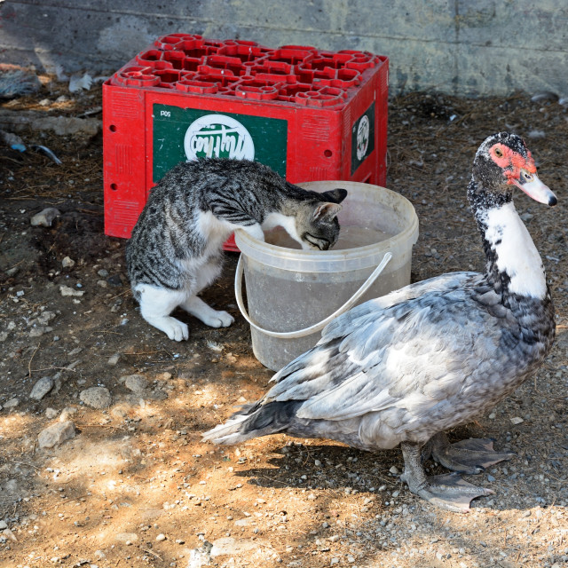 """""""A duck with a cat drinking from a bucket"""" stock image"""