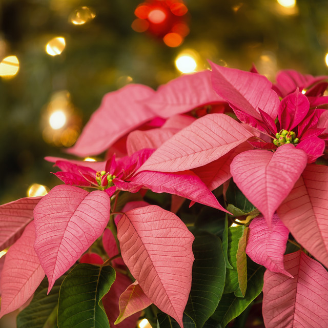 """Pink Poinsettia flower, Christmas Star"" stock image"