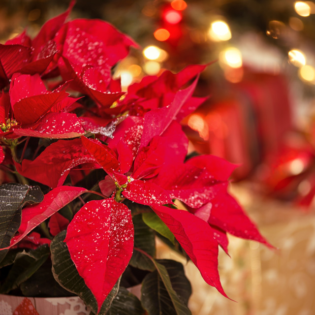 """Red Poinsettia flower, Christmas Star"" stock image"