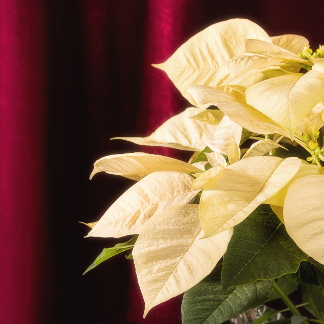 """Close up of cream white Poinsettia, Christmas Star flower"" stock image"