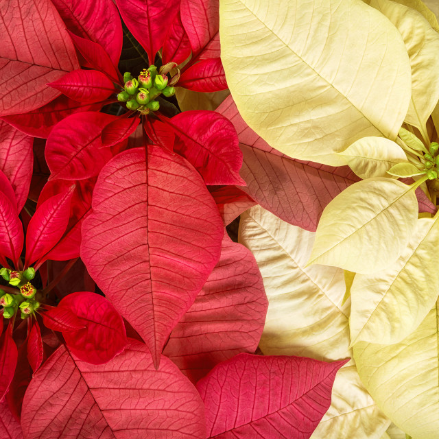 """Closeup of red pink and cream white poinsettia flowers"" stock image"