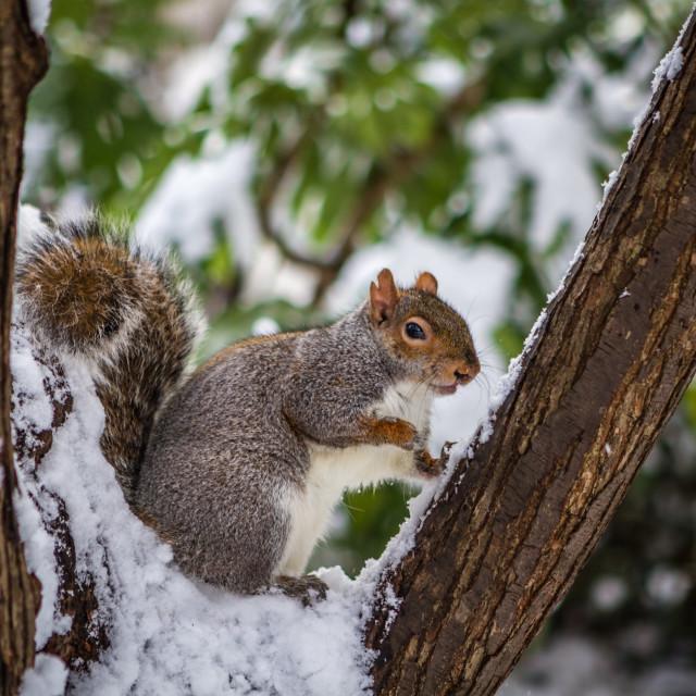 """Posing Squirrel"" stock image"