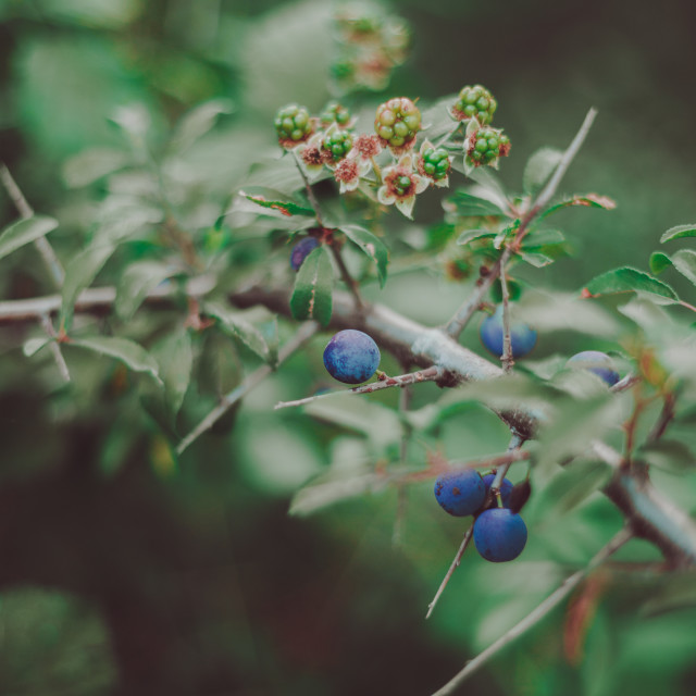 """""""Blue berries and unripe blackberries"""" stock image"""