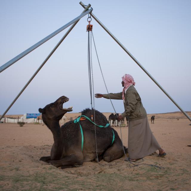 """Ill camel, Saudi arabia"" stock image"