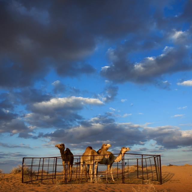 """""""Camels in nafoud desert, Saudi arabia"""" stock image"""