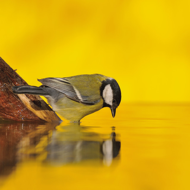 """""""Great tit drinking water in the pond."""" stock image"""