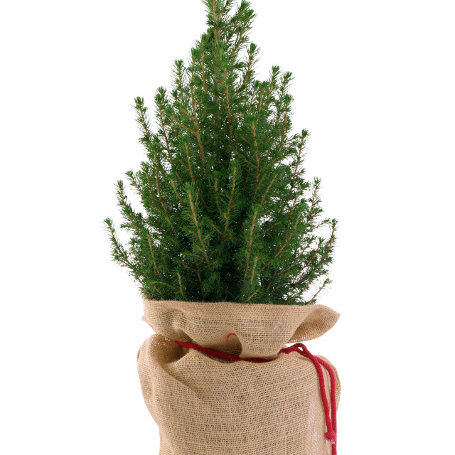 """""""Small Christmas tree isolated on white"""" stock image"""