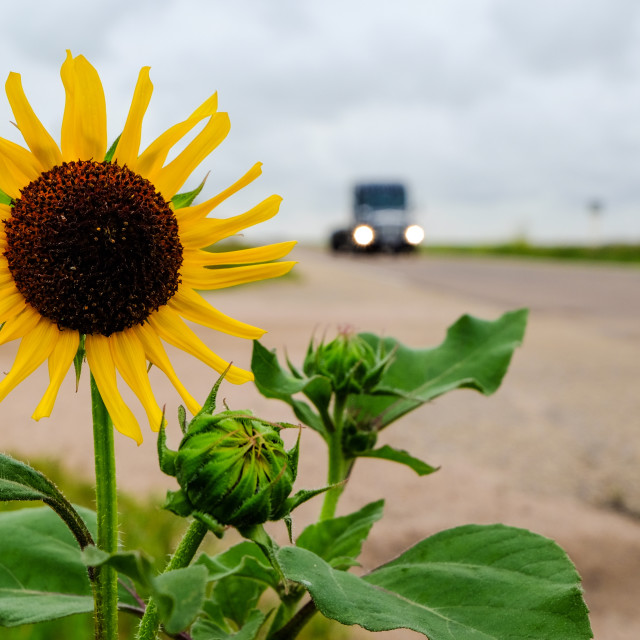 """Sunflower on the road"" stock image"