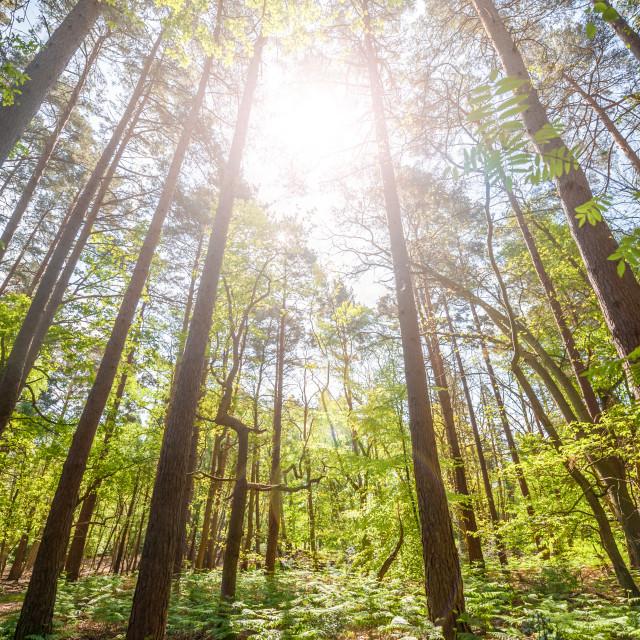 """pine forest sunrise"" stock image"