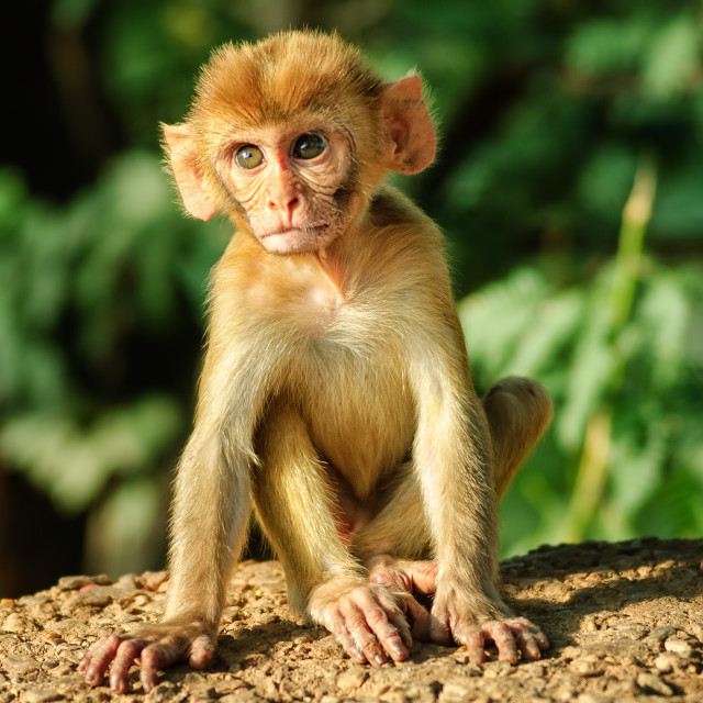 """A young Rhesus Macaque monkey"" stock image"