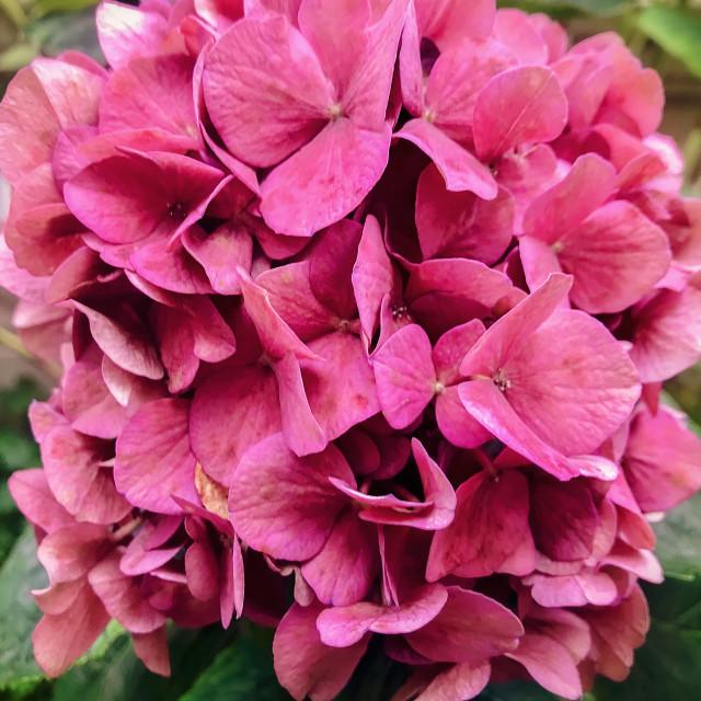"""Pink Hydrangea in Bloom"" stock image"