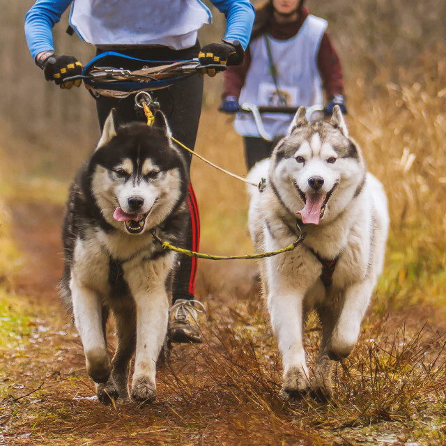 """siberian huskies during a race"" stock image"