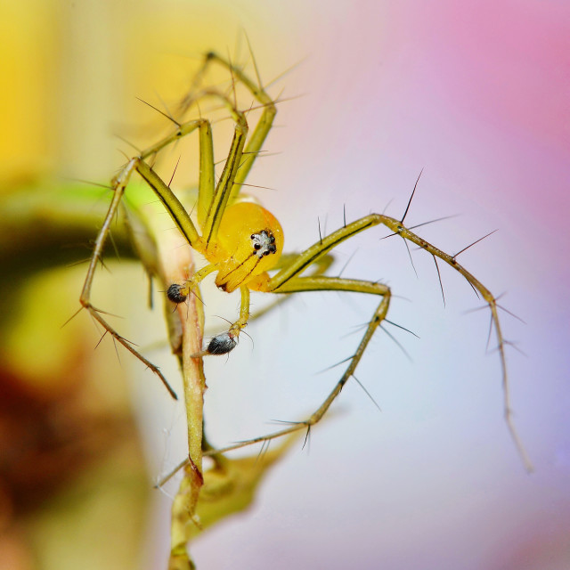 """Lynx spider"" stock image"