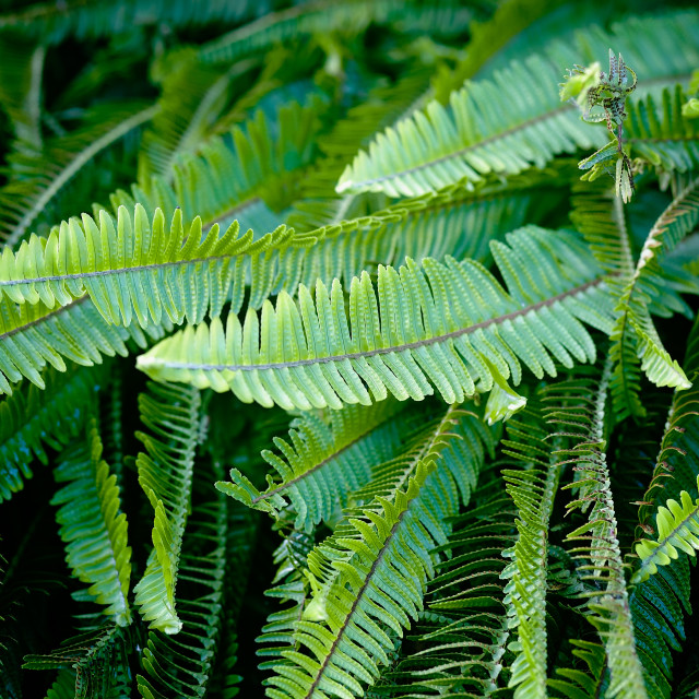 """""""Lush, Green Fern Leaves Close Up in Nature"""" stock image"""
