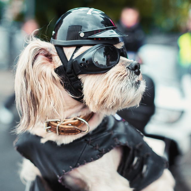 """Tough biker dog"" stock image"