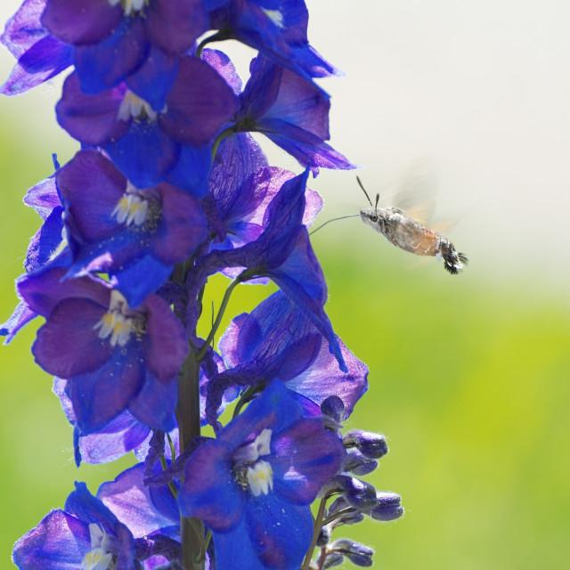 """Hummingbird Hawk-moth Hovering"" stock image"