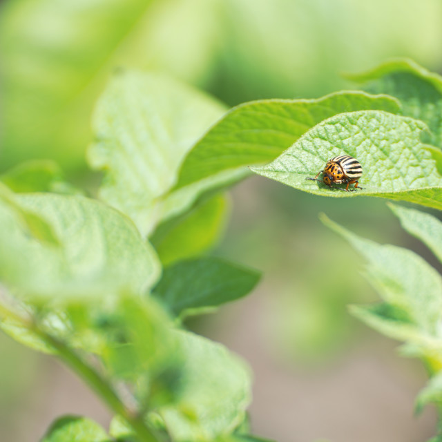 """Colorado Potato Beetle"" stock image"