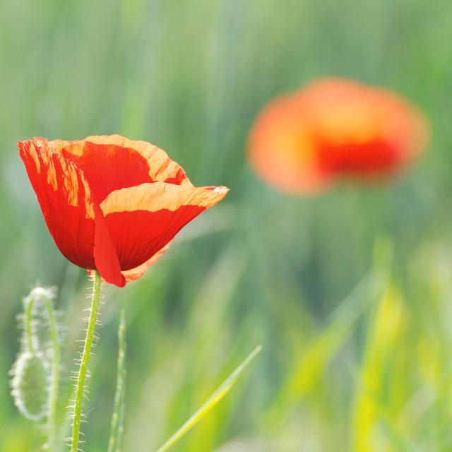 """""""Red Poppy Flower"""" stock image"""