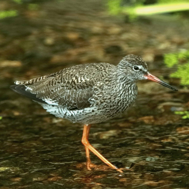 """""""Red Shank"""" stock image"""