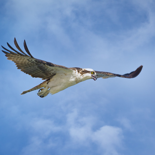 """Osprey on the Hunt in Florida, USA"" stock image"