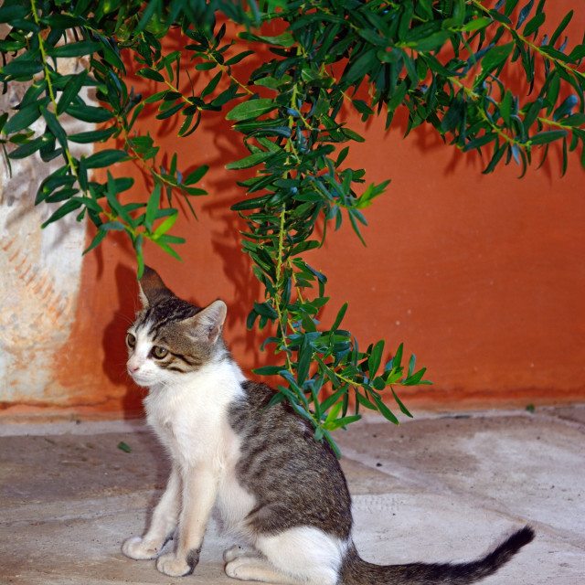 """Grey tabby Cretan cat in the grounds of the Agia Triada monastery, Crete"" stock image"